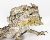 Frilled neck lizard Royalty Free Stock Photos