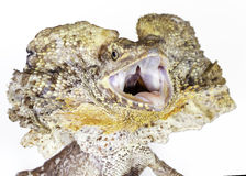 Frilled neck lizard Stock Images