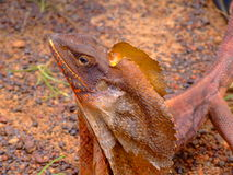 Frilled-necked lizard royalty free stock photos