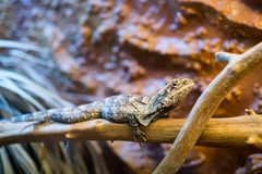Frilled-necked lizard Chlamydosaurus kingii sitting on a branch stock photo