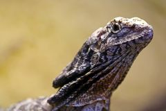 Head of a frilled-necked lizard dragon looking upwards Stock Photo