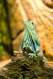 The frilled-necked lizard to the branch royalty free stock photos