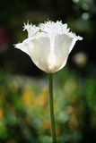 Frilled White Parrot Tulip Flower and Pretty Insec Royalty Free Stock Images
