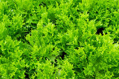 Frillice Iceberg, hydroponic lettuce, ready to cultivate. Stock Photos