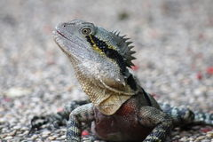 Frillneck Lizard Royalty Free Stock Photo