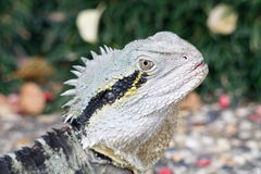 Frillneck Lizard Close up Royalty Free Stock Photography