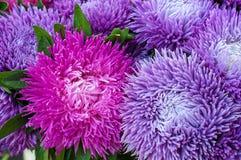Frilly фиолетовые астры в саде лета Букет зацветая Callistephus chinensis Стоковое Изображение
