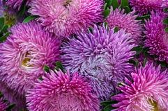 Frilly фиолетовые астры в саде лета Букет зацветая Callistephus chinensis Стоковые Изображения RF