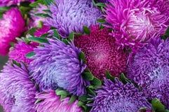 Frilly фиолетовые астры в саде лета Букет зацветая Callistephus chinensis Стоковые Фотографии RF