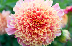 Frilly Orange Dahlia. Large orange dahlia blossom in Golden Gate Park, San Francisco royalty free stock photography