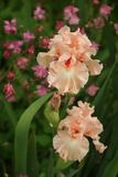 Frilly peach-pink bearded irises rise on scapes in front of rose-colored columbine. In a verdant spring garden Royalty Free Stock Photography