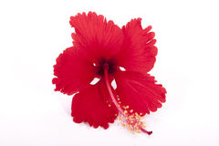 Frilly Red Petals of Exotic Red Hibiscus Flower Stock Images
