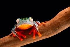 Fringe tree frog. Cruziohyla craspedopus. A tropical rain forest amphibian from the amazon rainforest. Exotic animal and treefrog royalty free stock photography