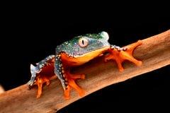 Fringe tree frog. Cruziohyla craspedopus. A tropical rain forest amphibian from the amazon rainforest. Exotic animal and treefrog royalty free stock photo
