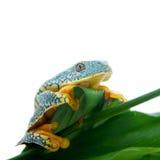 The fringe tree frog on white Stock Photo