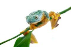 The fringe tree frog on white Stock Photography