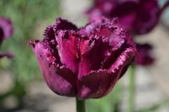 Fringe Fancy Tulip Close Up. A fringed fancy tulip close up from the Holland Michigan Tulip Time Festival Royalty Free Stock Photography