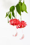 Fringed hibiscus Stock Photography