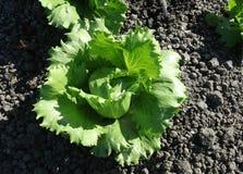 Fringed iceberg lettuce, Lactuca sativa Royalty Free Stock Photo