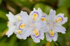 Fringed iris flowers. This is a picture of flowers fringed iris was taken outdoors in April Stock Photo