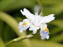 Fringed Iris Stock Photo