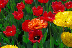 Fringed red, orange and yellow plush tulips. On the flowerbed royalty free stock photos