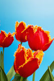 Fringed red tulips against clear blue sky Royalty Free Stock Photography