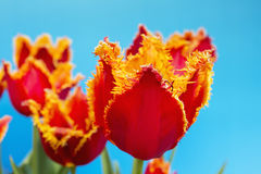 Fringed red tulips against clear blue sky Stock Photo