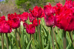 Fringed tulip Stock Photo