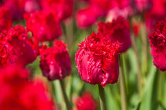 Fringed tulip Royalty Free Stock Photo