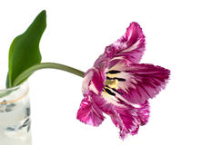 Fringed tulip. On a black background Stock Photo