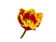 Fringed Tulip Fabio Royalty Free Stock Images