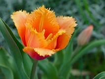 Fringed tulip 'Lambada' Royalty Free Stock Images