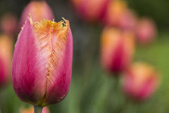 Fringed Tulip Lambada Royalty Free Stock Images