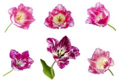 Fringed tulip Stock Image