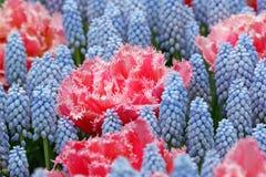 Fringed tulip Queensland stock photo