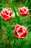 Fringed tulip. Fringed red tulips 'Canasta' are outdoors Royalty Free Stock Photography