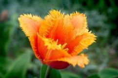 Fringed tulip Royalty Free Stock Photo