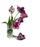 Fringed tulip. On a white background Stock Photos