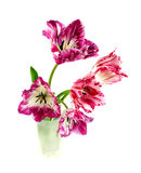 Fringed tulip. On a white background Royalty Free Stock Images