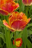 Fringed Tulipa Sunset Miami Royalty Free Stock Image