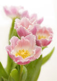 Fringed tulips Royalty Free Stock Photos