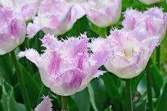 Fringed tulips - closeup stock photo