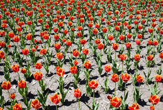 Fringed tulips Stock Image