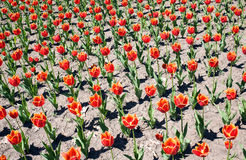Fringed tulips on the flowerbed Royalty Free Stock Photos
