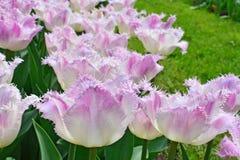 Fringed tulips stock photos