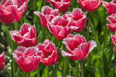 The  fringed tulips Royalty Free Stock Images