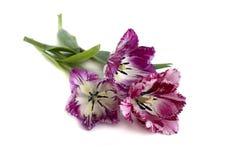 Fringed tulips. On a white background Royalty Free Stock Photos
