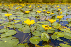Fringed Water lily Royalty Free Stock Image