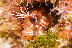 Fringehead Blenny Fish. A bright orange fringehead blenny sits within a small hole in a California reef, looking for small crustaceans to eat royalty free stock photos